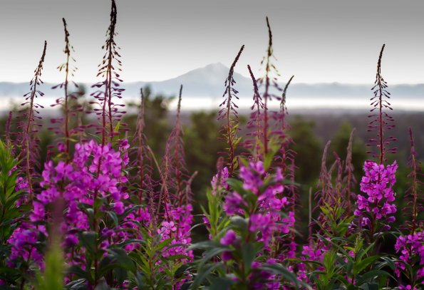 Fireweed and Redoubt